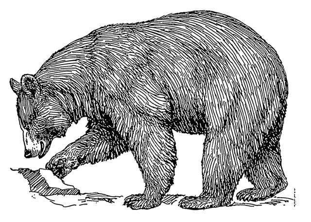 640px-Black_bear_(PSF)